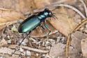 Festive Tiger Beetle - Cicindela scutellaris