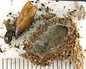 Pyralidae, cocoon and spent pupa - Sciota rubescentella