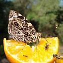 Blomfild's Beauty feeding on an orange - Smyrna blomfildia