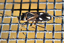 Plant bug? - Raglius alboacuminatus