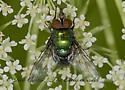 9013450 Calliphorid - Lucilia illustris - male
