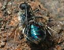 Eulonchus - Eulonchus tristis - male