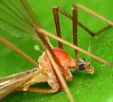 hairy-eyed crane fly - Pedicia calcar - female