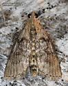 Moth - Pococera