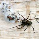 Greater European House Spider with egg sac(s) - Eratigena atrica - female