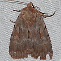 Southern Variable Dart Moth - Xestia elimata