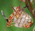 wasp - Polistes bellicosus
