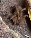 spider ID - Trochosa