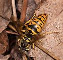Wasp - Vespula maculifrons
