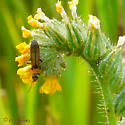 Beetle, blister family? - Dichelotarsus