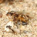 Lasius emergence - Lasius neoniger - male - female