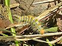 Box-elder Tussock Moth Caterpillar at Wet Beaver Creek - Orgyia leuschneri