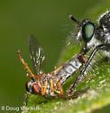 prey - Taracticus octopunctatus