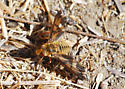 Orange County Bee Fly Archives #286 - Poecilanthrax arethusa, right? - Poecilanthrax arethusa