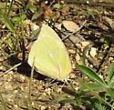 sulphur - Zerene cesonia