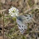 Which White? - Pontia occidentalis