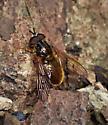 Syrphid Fly - Ferdinandea croesus - male