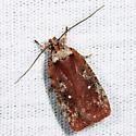 moth - Agonopterix walsinghamella