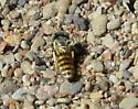 PA er dune wasp - Microbembex monodonta