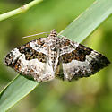 White-banded Toothed Carpet - Epirrhoe alternata