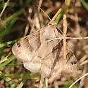 Brown moth in grass - Caenurgina crassiuscula
