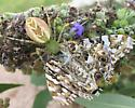 Gravid lynx spider feeding on American painted lady butterfly (?)  - Peucetia viridans - female