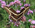 Giant Swallowtail - Papilio cresphontes - female