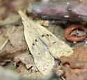 moth - Dichomeris punctipennella