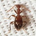 Ant-like Flower Beetle - Acanthinus argentinus
