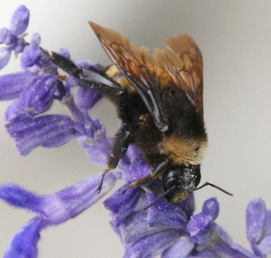 bumblebee ? - Bombus pensylvanicus