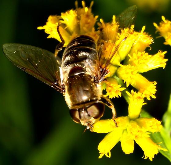 Syrphid Fly - Black & White - Eristalis dimidiata - female