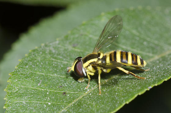Syrphid Fly - Xanthogramma flavipes - female