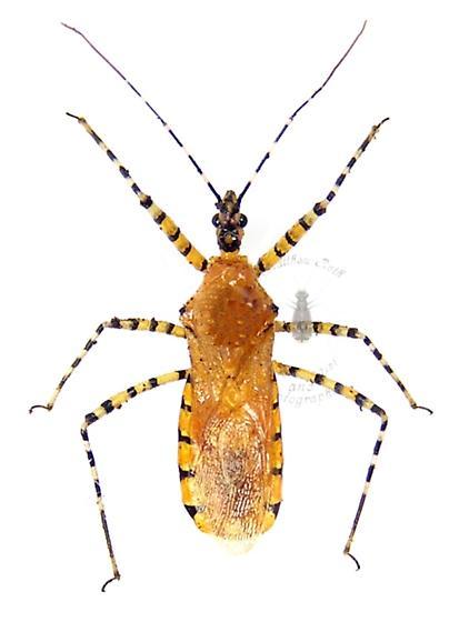 Orange Assassin Bug - Pselliopus barberi