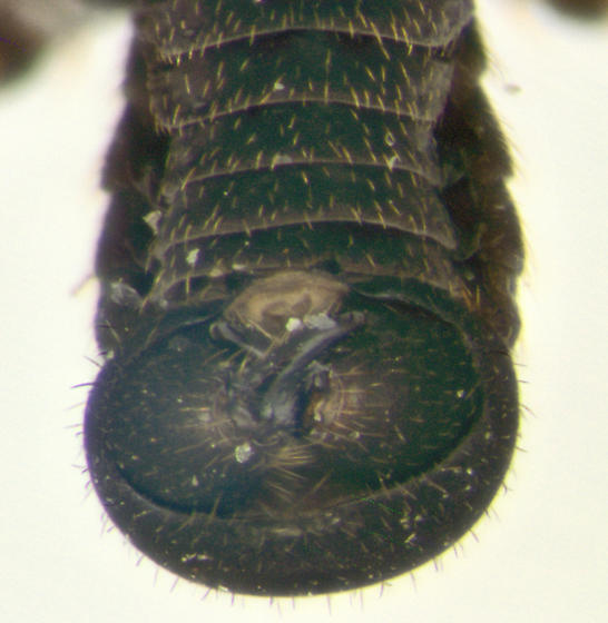 Snow Fly, male - Chionea stoneana - male