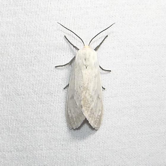 ID Request - Euchaetes bolteri - female