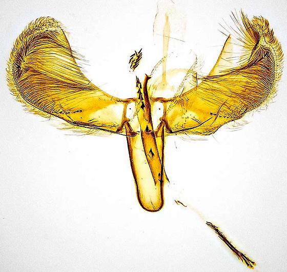genitalia - Caloptilia bimaculatella - male