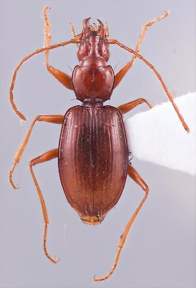Pseudanophthalmus cerberus - female
