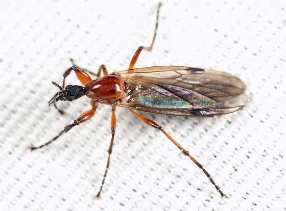 Bibio - Bibio longipes - female