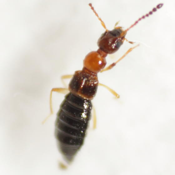 Staphylinid 10 - Apocellus