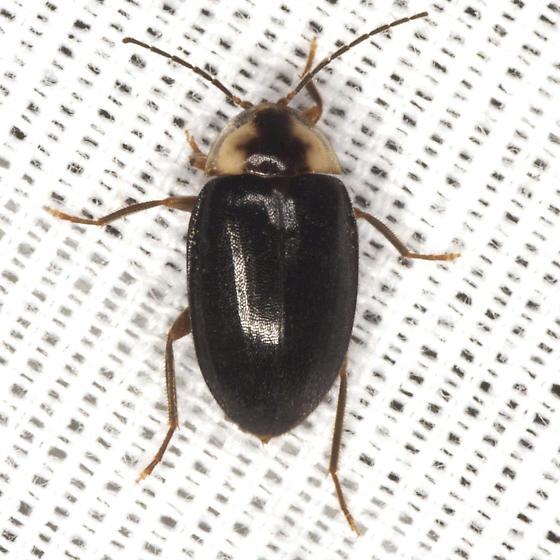 Marsh Beetle - Sacodes pulchella
