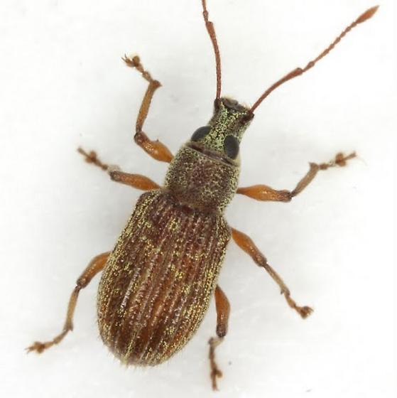 Cyrtepistomus castaneus (Roelofs) - Cyrtepistomus castaneus