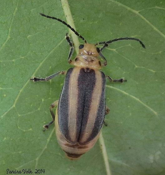 Unknown Leaf Beetle - Derospidea brevicollis
