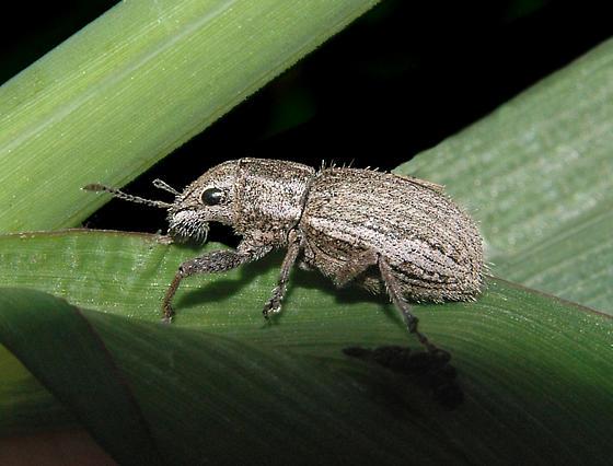 Weevil - Naupactus