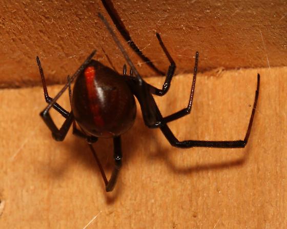 L. mactans? - posterior - Latrodectus hesperus - female