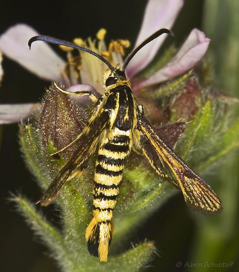 Clearwing on rare Horkelia relative - Synanthedon bibionipennis