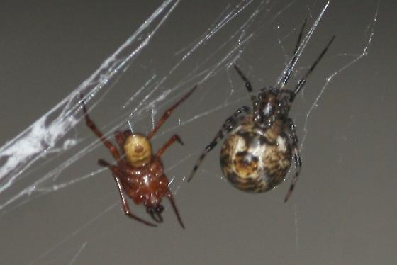 Spiders - Parasteatoda tepidariorum - male - female