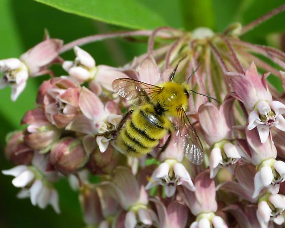 Yellow Bee - Bombus perplexus