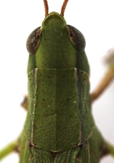 Dichromorpha viridis - female