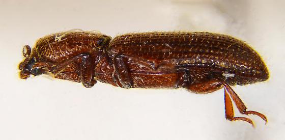 Monotomidae of sorts? - Oxylaemus californicus