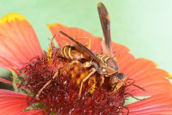 Polistes on Spring Island - Polistes bellicosus - female